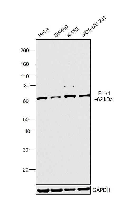 PLK1 Antibody in Western Blot (WB)