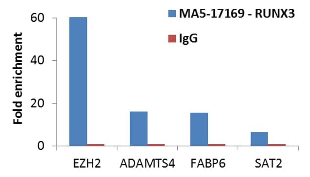 RUNX3 Antibody in Relative expression