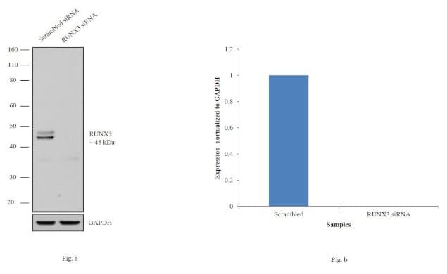 RUNX3 Antibody in Western Blot (WB)