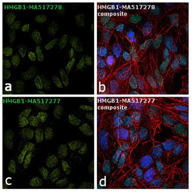 HMGB1 Antibody in Independent antibody