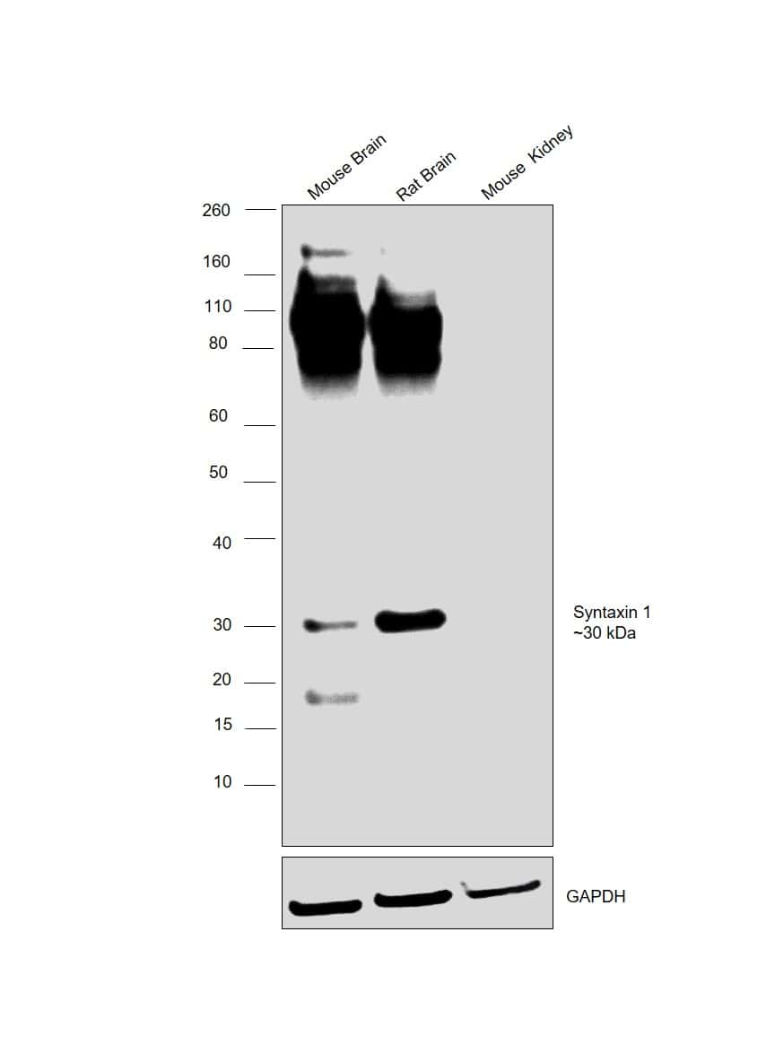 Syntaxin 1 Antibody in Relative expression