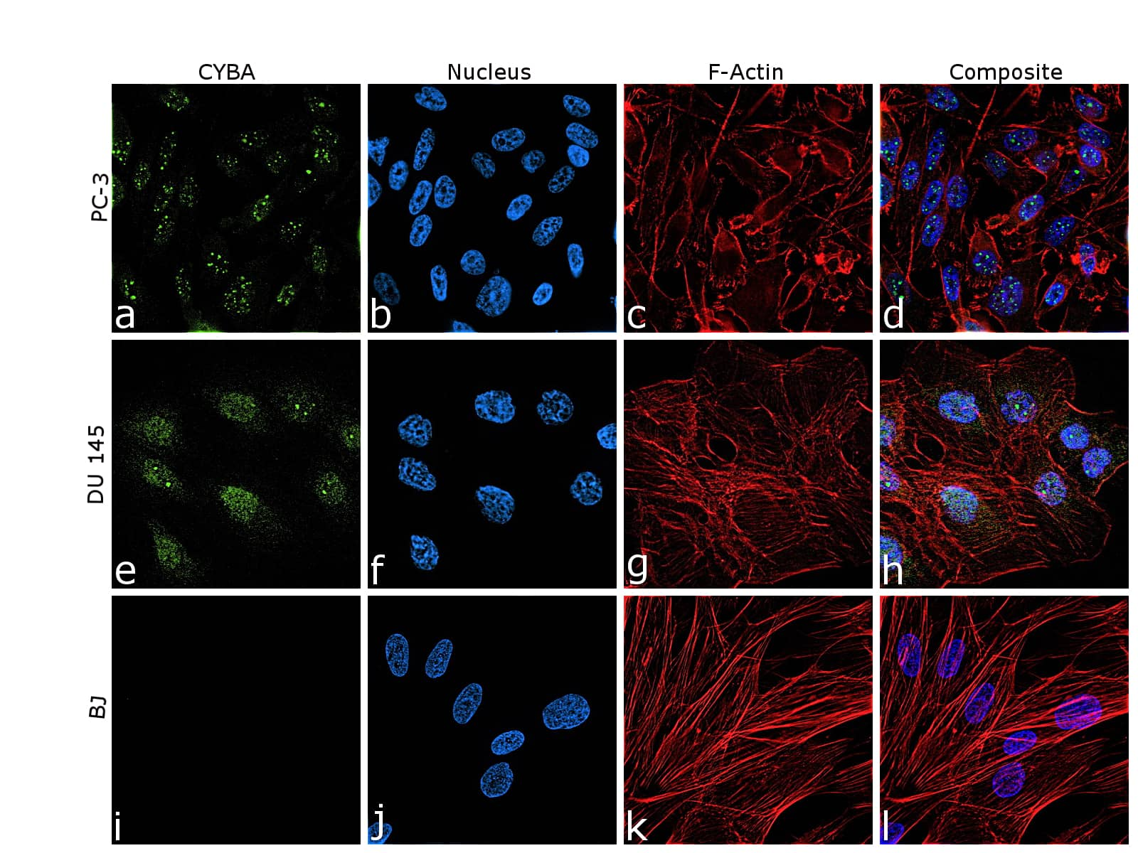 CYBA Antibody in Relative expression