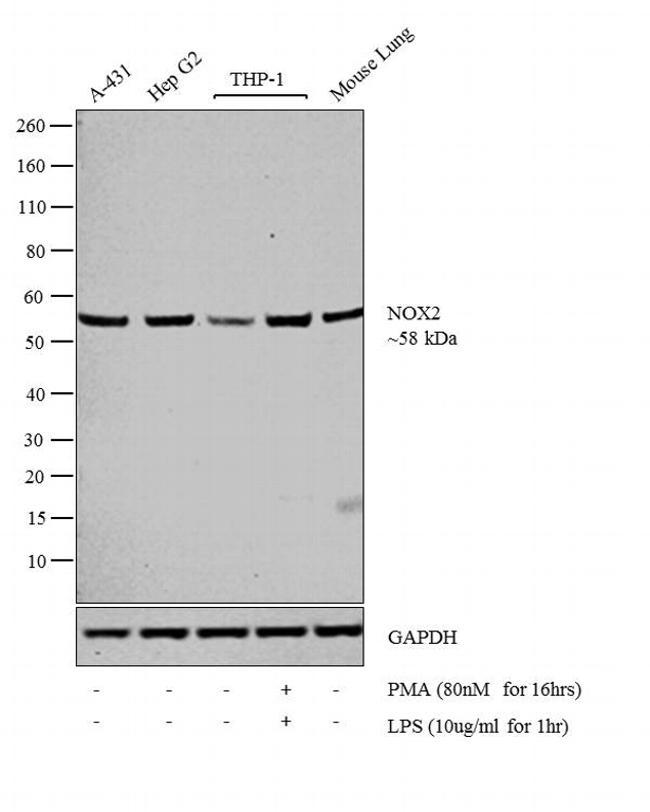 NOX2 Antibody in Western Blot (WB)