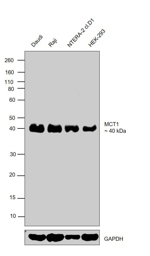 MCT1 Antibody in Western Blot (WB)