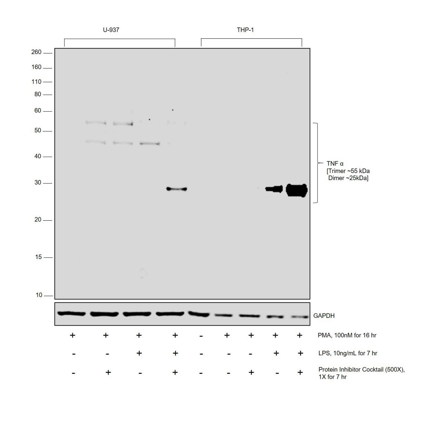 TNF alpha Antibody in Western Blot (WB)