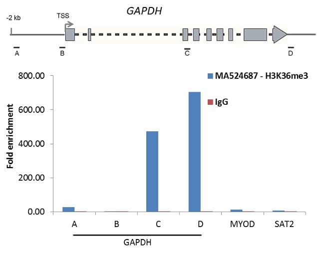 H3K36me3 Antibody in Relative expression