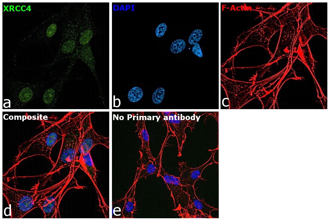 XRCC4 Antibody in Immunocytochemistry (ICC)