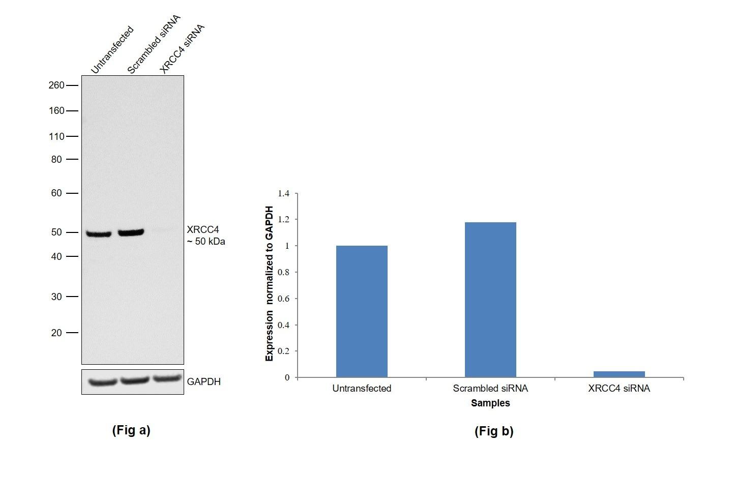 XRCC4 Antibody in Knockdown