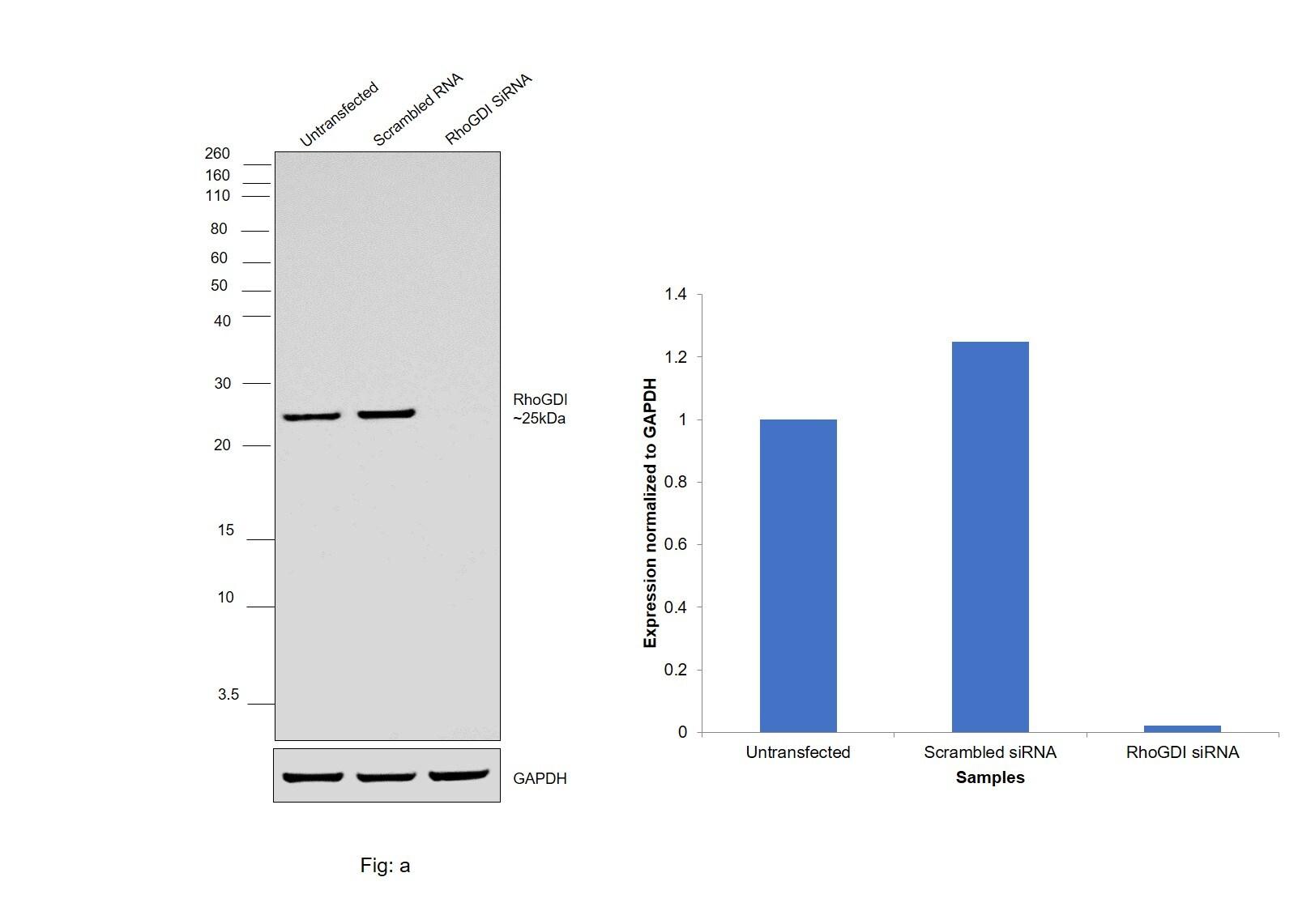 RhoGDI Antibody in Western Blot (WB)