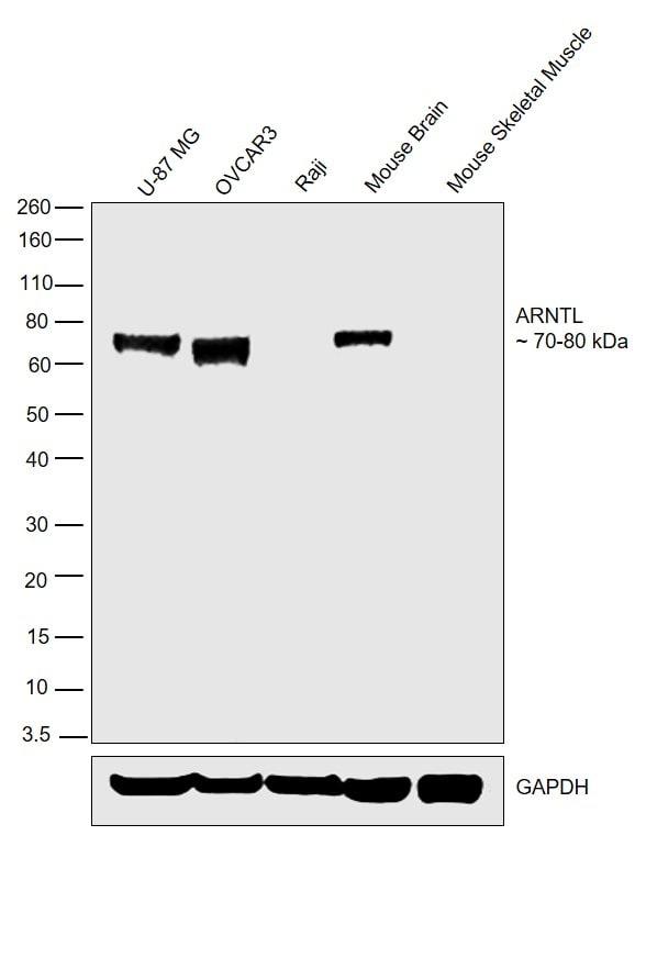 BMAL1 Antibody in Relative expression