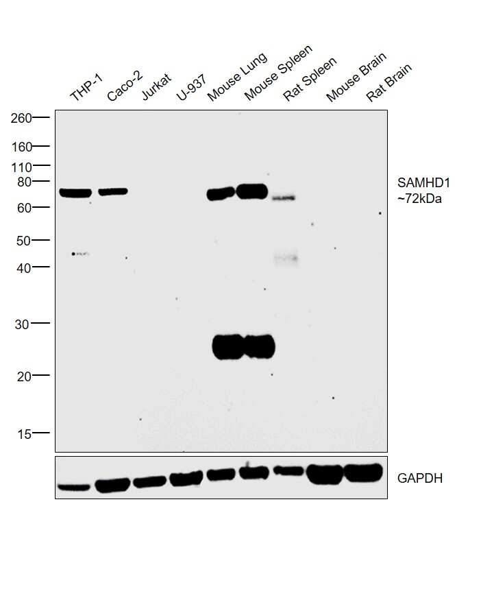 SAMHD1 Antibody in Relative expression