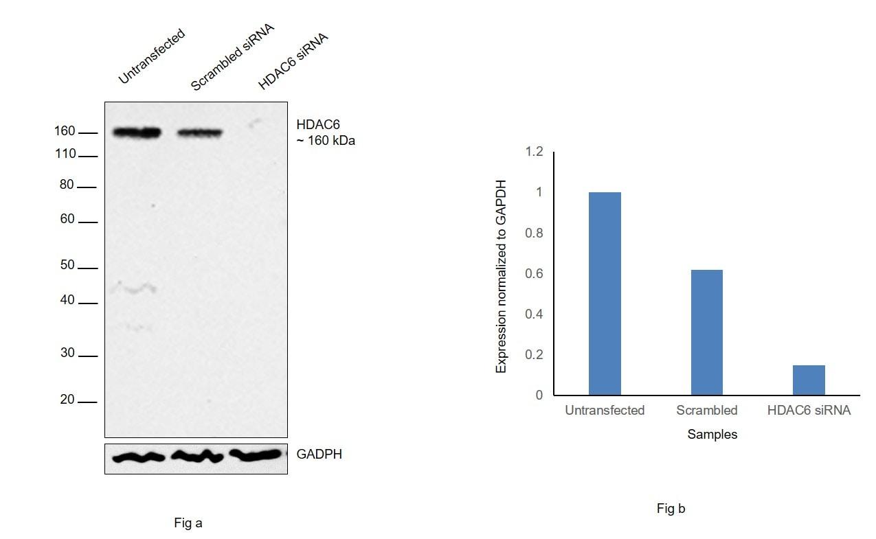 HDAC6 Antibody in Knockdown