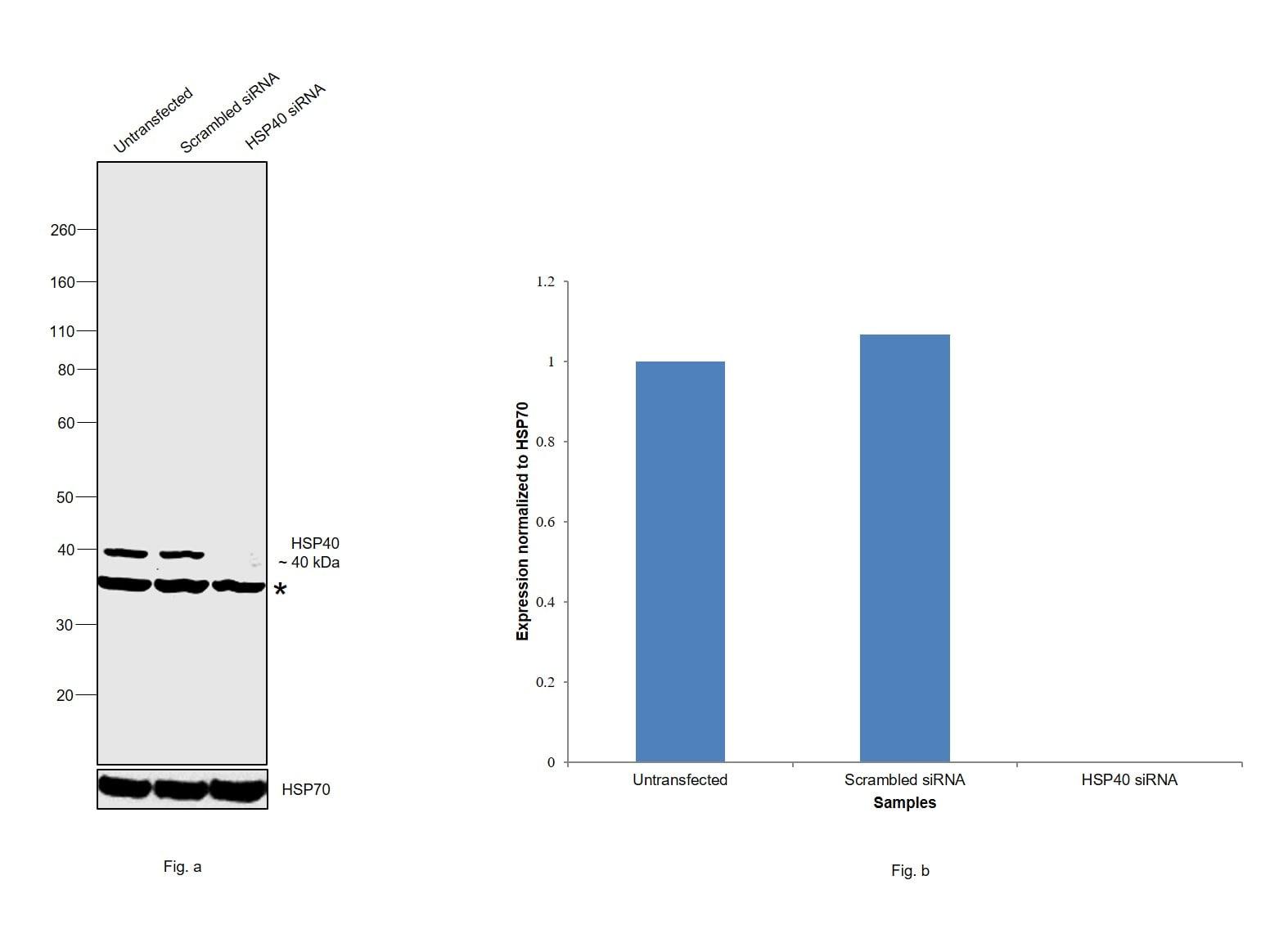HSP40 Antibody in Western Blot (WB)