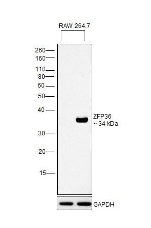 ZFP36 Antibody in Western Blot (WB)