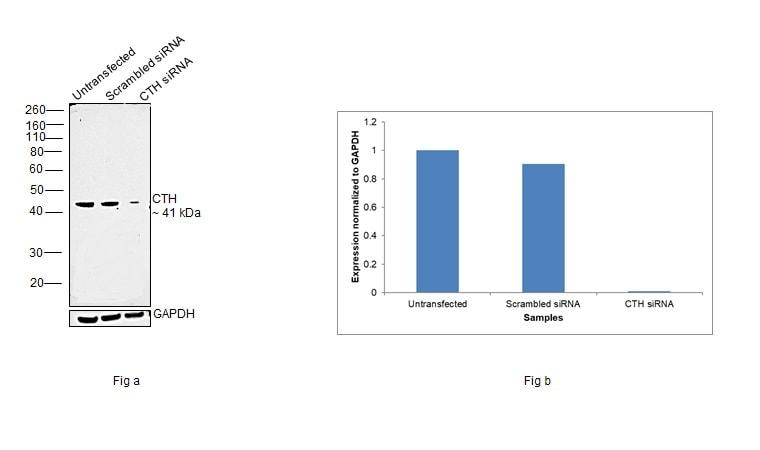CTH Antibody in Western Blot (WB)