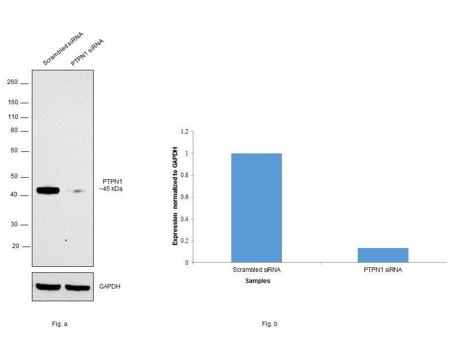 PTP1B Antibody in KnockDown