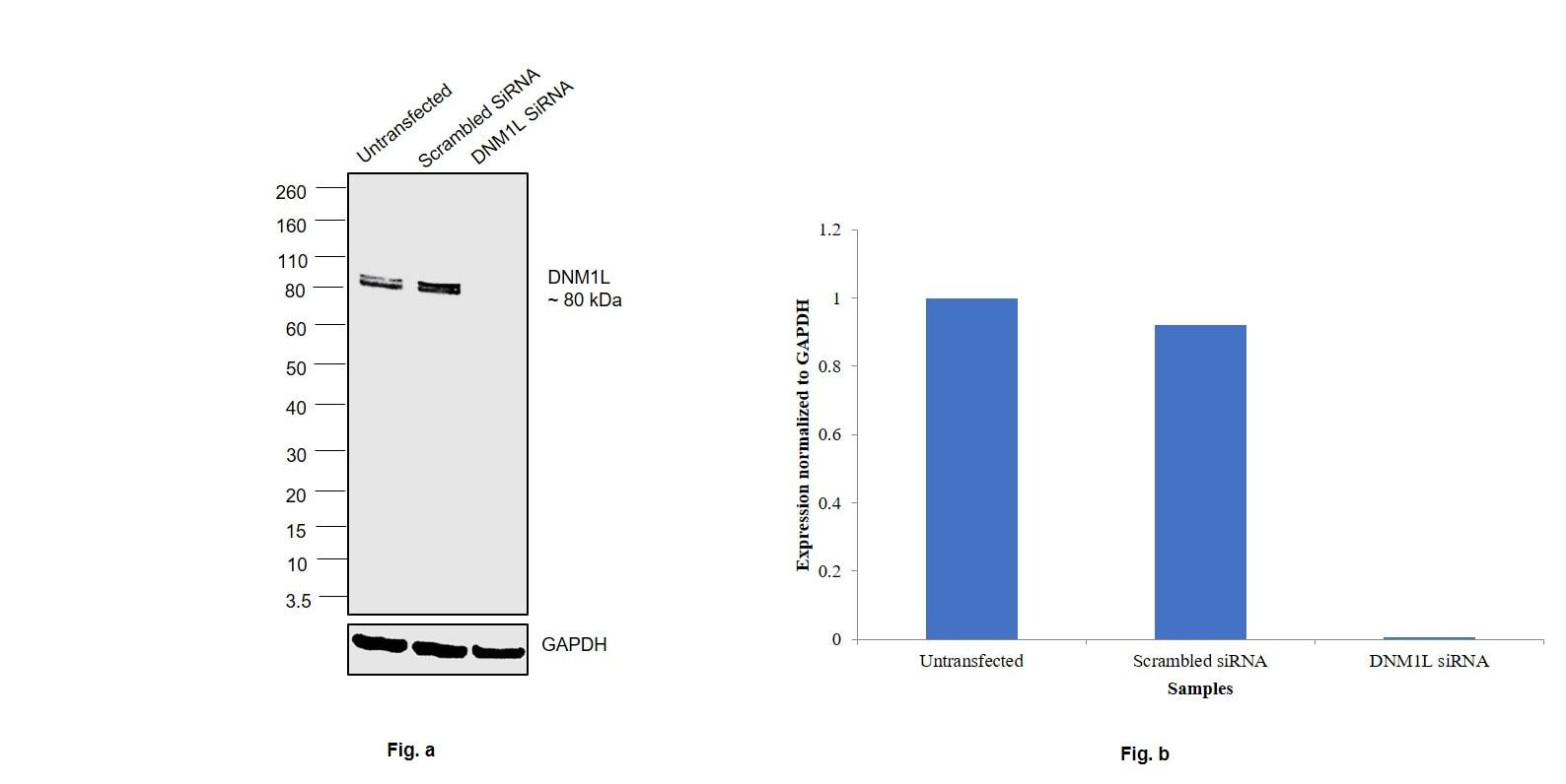 DNM1L Antibody in Western Blot (WB)