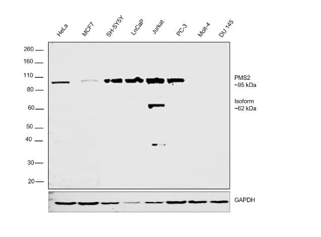 PMS2 Antibody in Relative expression