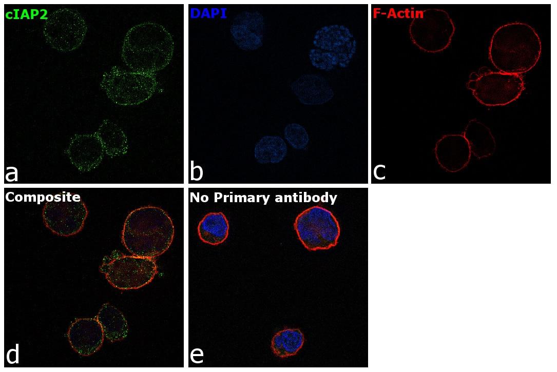 cIAP2 Antibody in Immunofluorescence (IF)