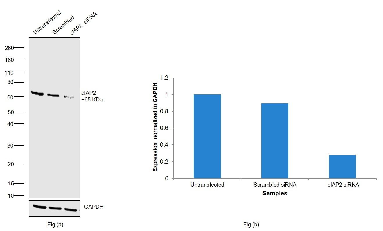 cIAP2 Antibody in Knockdown