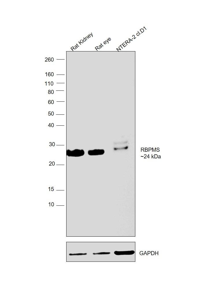 RBPMS Antibody in Western Blot (WB)