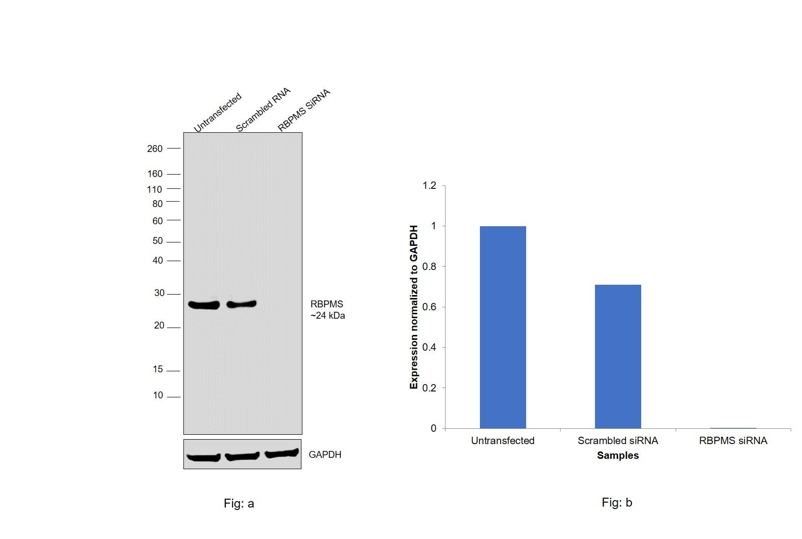 RBPMS Antibody in Knockdown