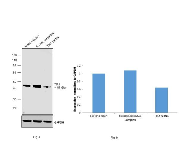 TIA-1 Antibody in Knockdown