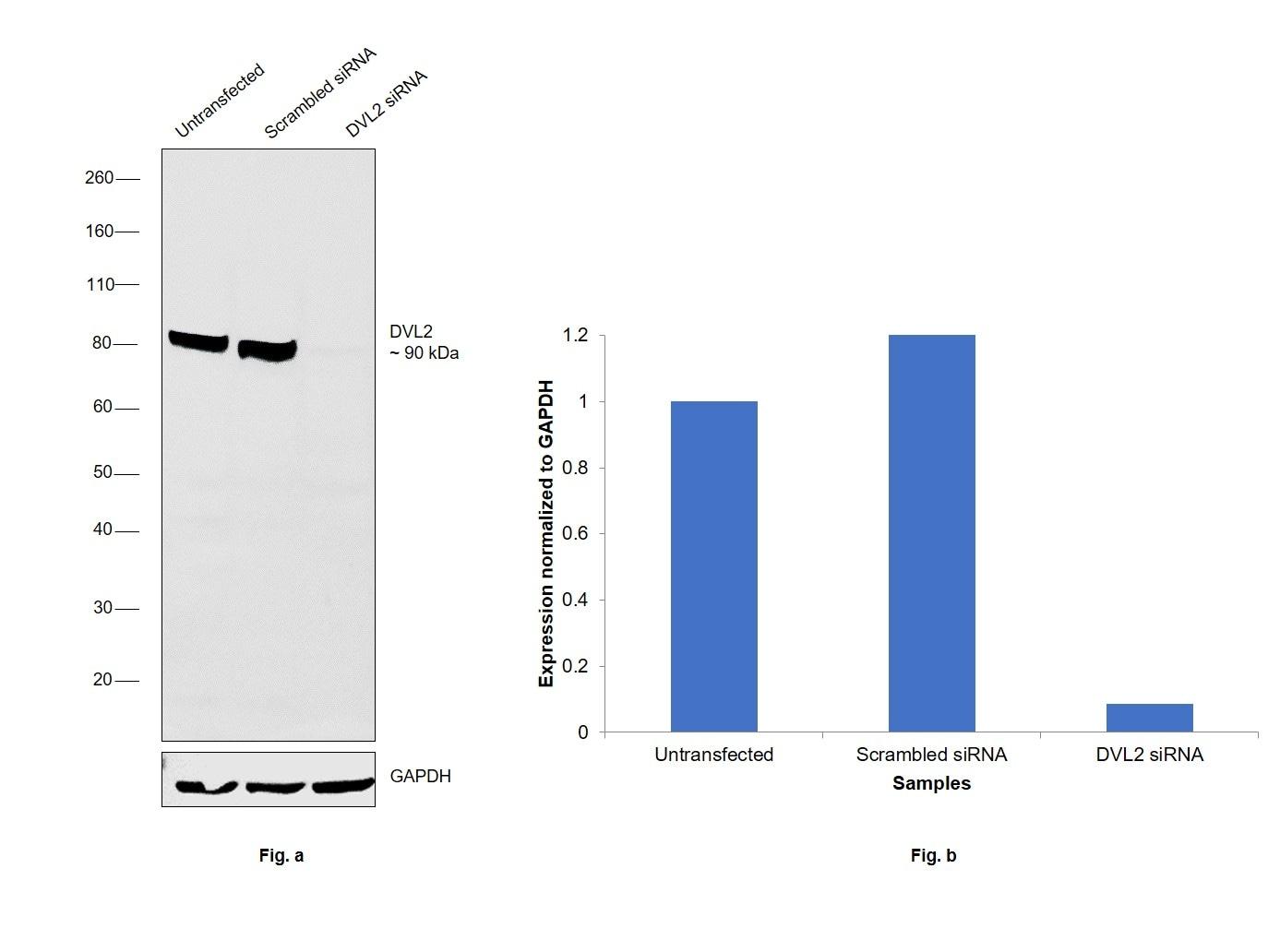DVL2 Antibody in Knockdown