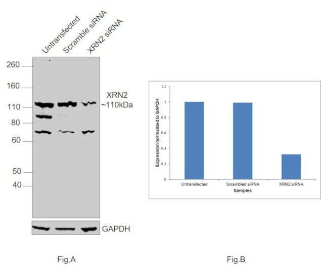 XRN2 Antibody in Western Blot (WB)