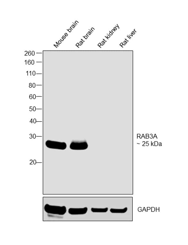 RAB3A Antibody in Relative expression