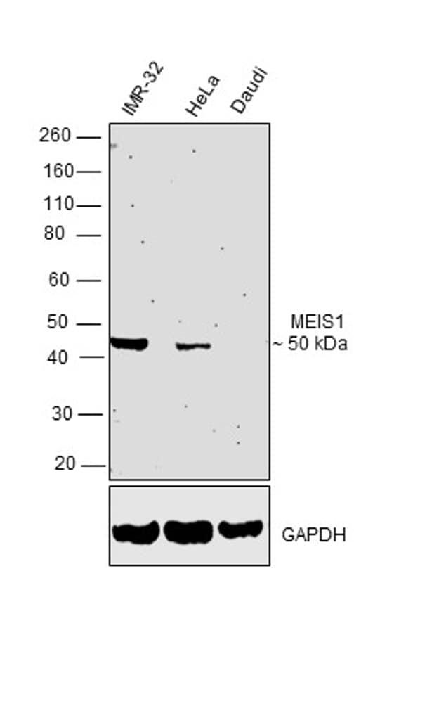 MEIS1 Antibody in Western Blot (WB)