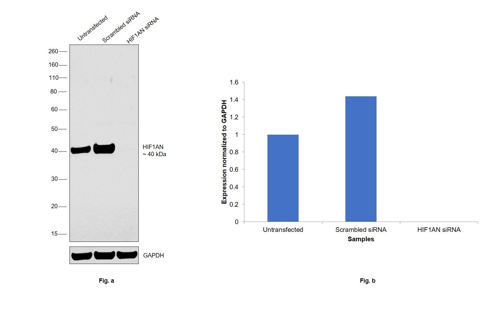 HIF1AN Antibody in Knockdown