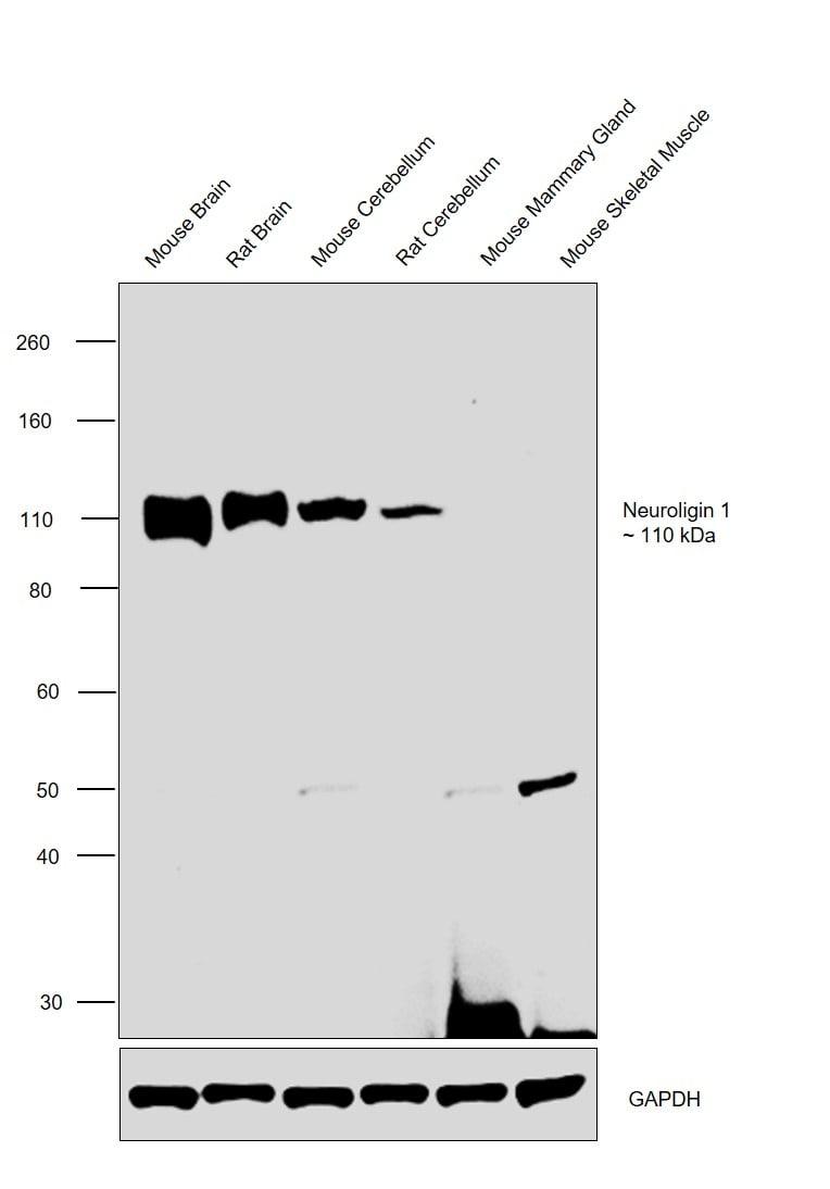 Neuroligin 1 Antibody in Relative expression