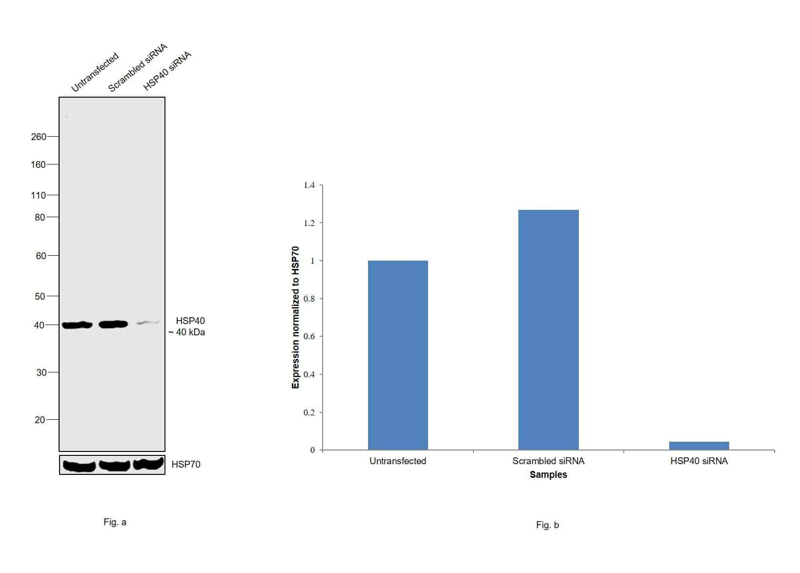 HSP40 Antibody in Knockdown