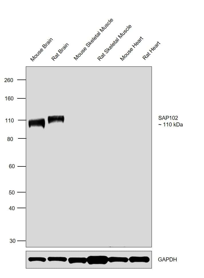 SAP102 Antibody in Relative expression