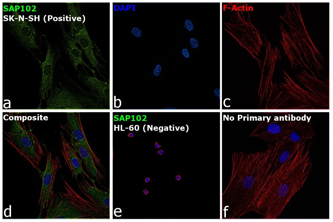 SAP102 Antibody in Immunocytochemistry (ICC/IF)