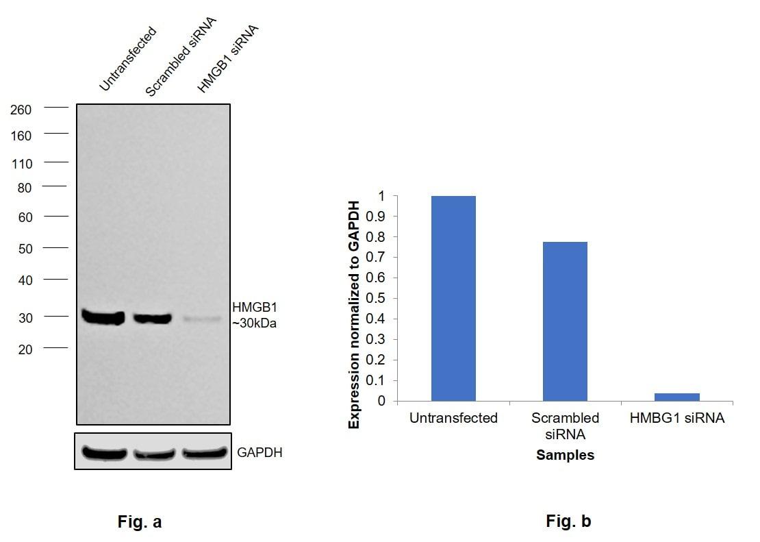 HMGB1 Antibody in Western Blot (WB)