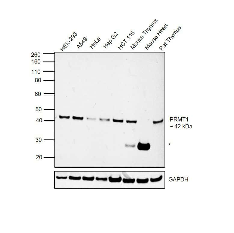 PRMT1 Antibody in Western Blot (WB)