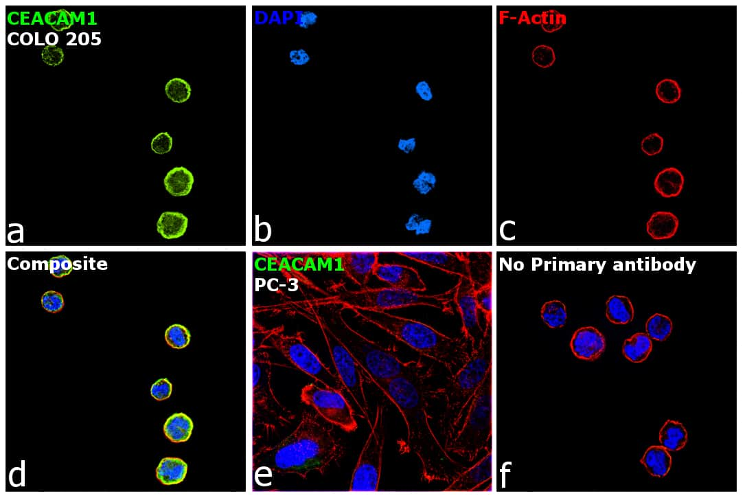 CEACAM1 Antibody in Immunocytochemistry (ICC/IF)