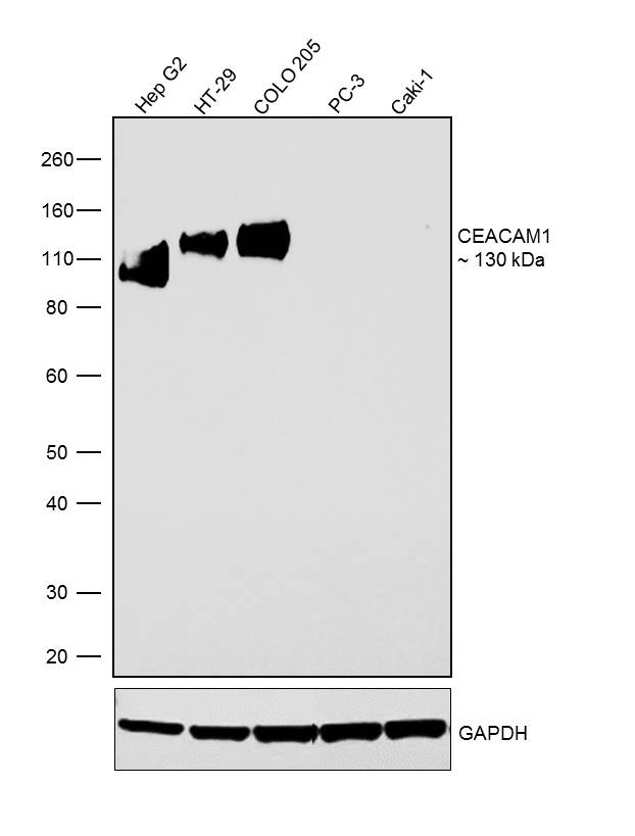 CEACAM1 Antibody in Western Blot (WB)
