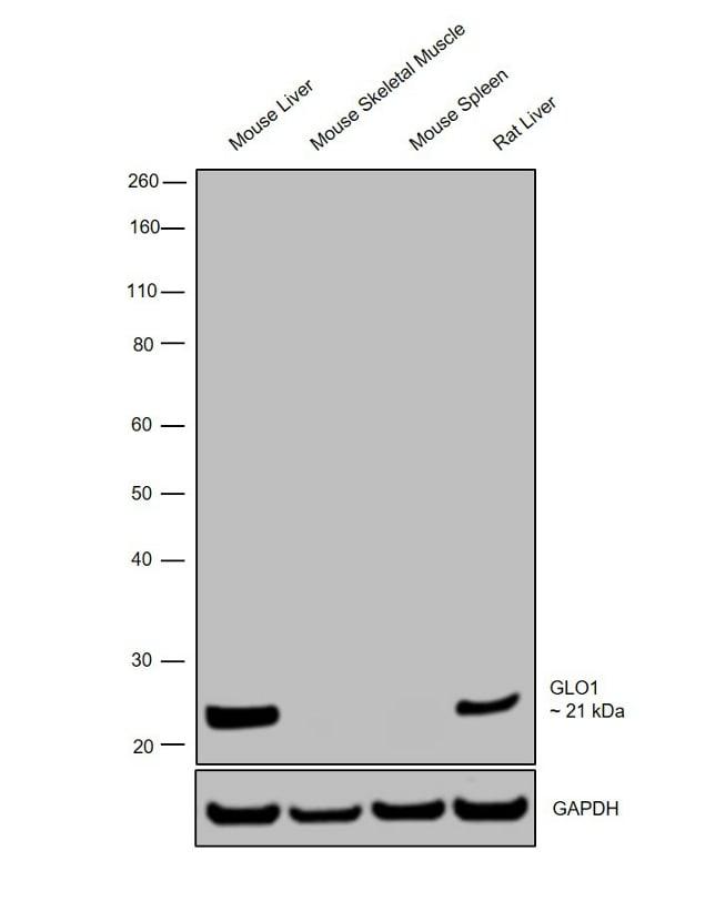 GLO1 Antibody in Relative expression