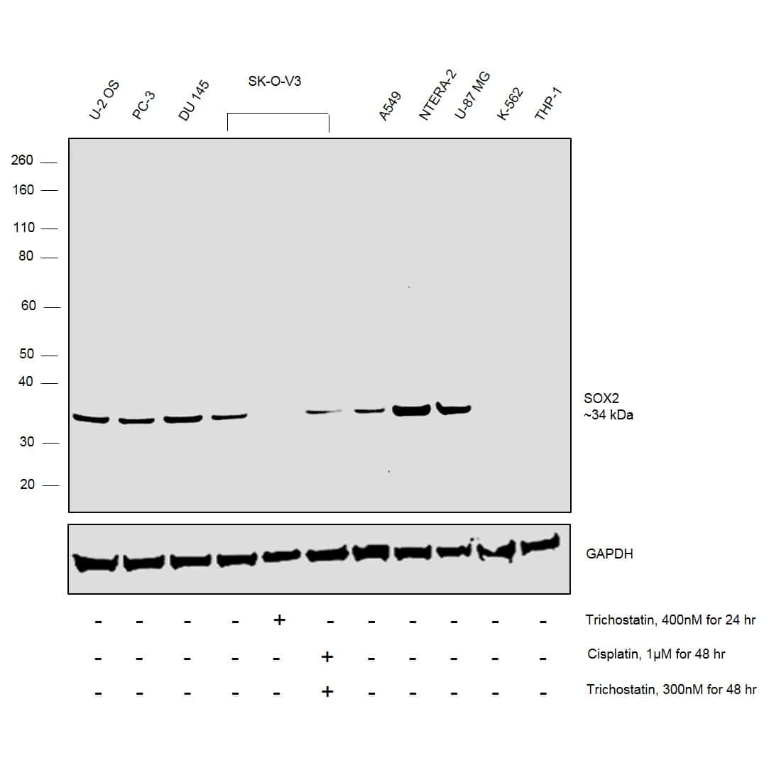SOX2 Antibody in Relative expression