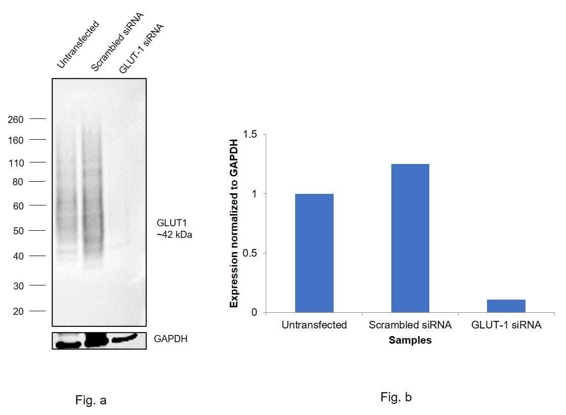 GLUT1 Antibody in Western Blot (WB)