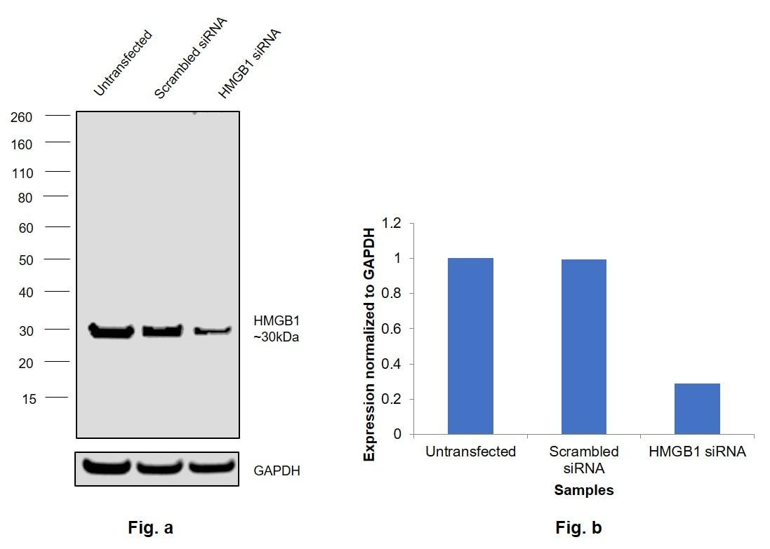 HMGB1 Antibody in Knockdown