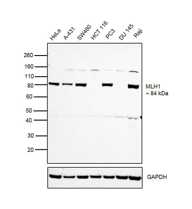 MLH1 Antibody in Relative expression