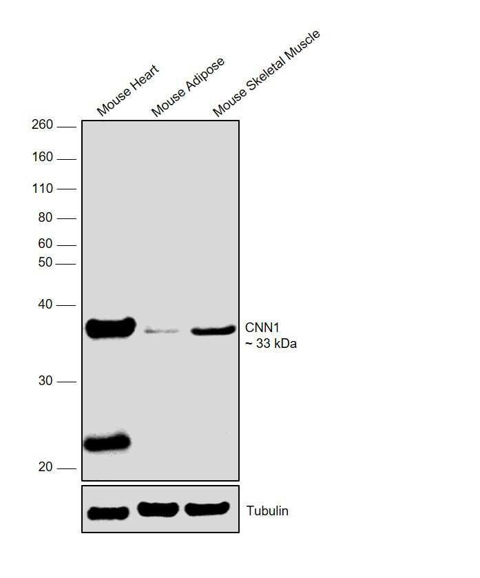 Calponin 1 Antibody in Relative expression