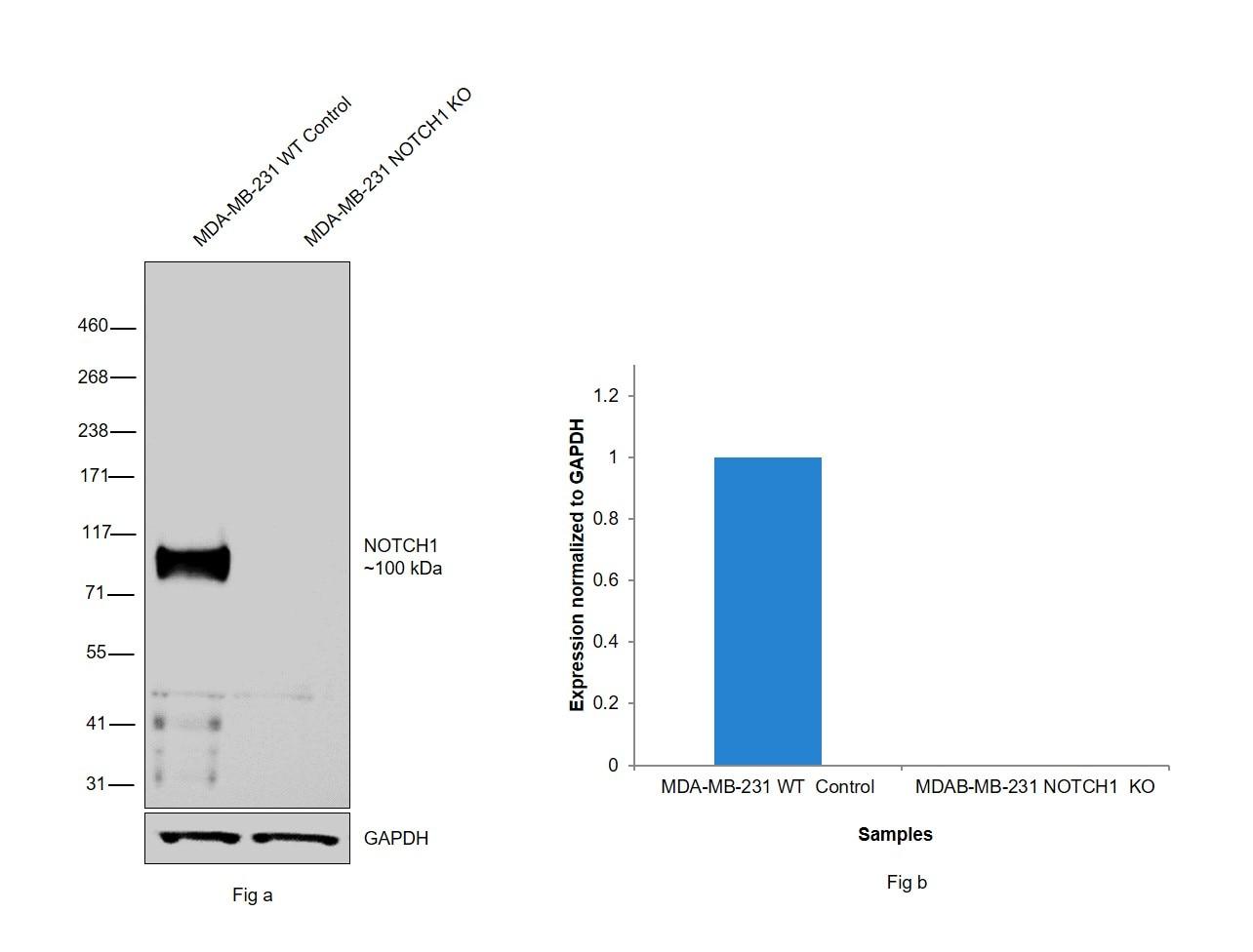 NOTCH1 Antibody in Western Blot (WB)