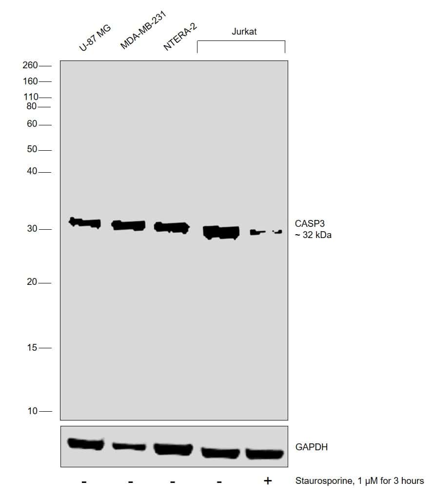 Active/Pro-Caspase 3 Antibody in Cell treatment