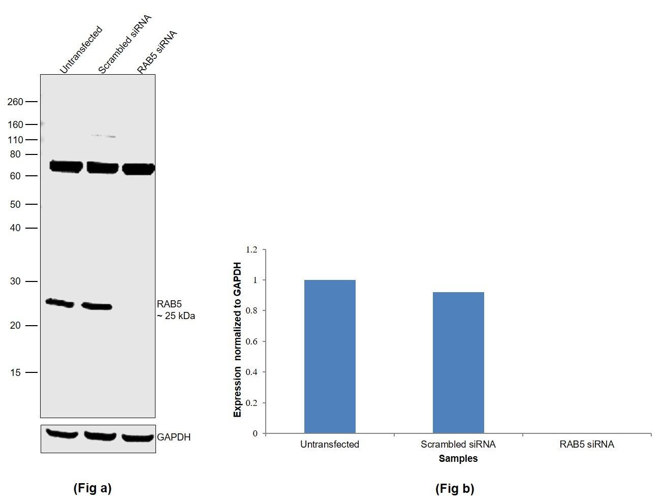 RAB5 Antibody in Western Blot (WB)