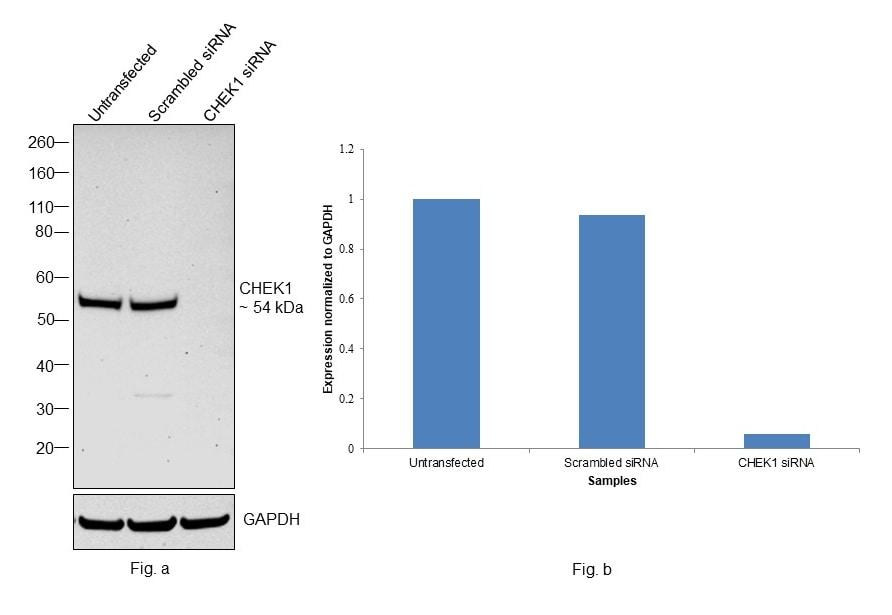 Chk1 Antibody in Knockdown